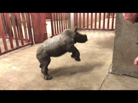 Rhino calf plays with zoo keeper