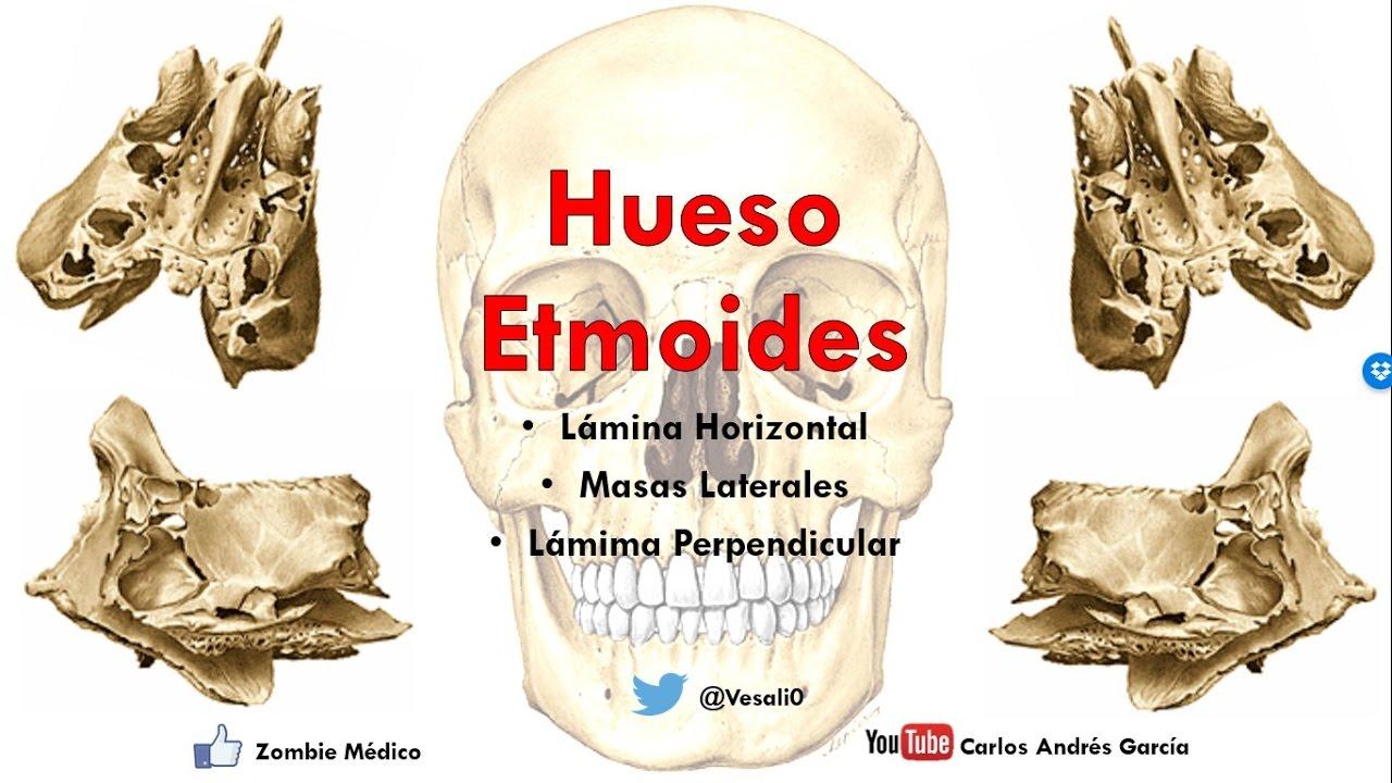 Anatomía - Hueso Etmoides (Lámina Vertical, Lámina Horizontal y ...