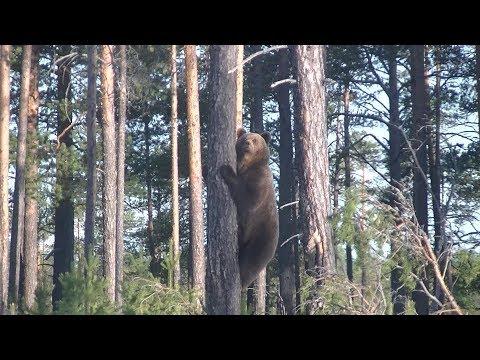 Смотреть Внезапная встреча с Медведицей и тремя Медвежатами. Лето 2019. онлайн