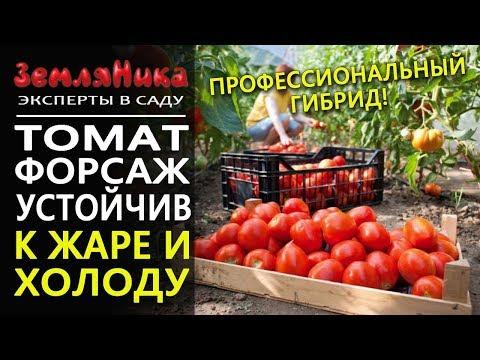 Томат Форсаж F1. Агрофирма Ильинична. Жаростойкий холодостойкий томат. Профессиональный гибрид.