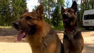 видео Лавинные и спасательные собаки