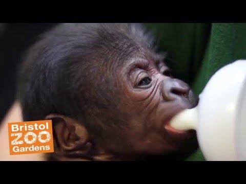 Gorilla Baby born at Bristol Zoo