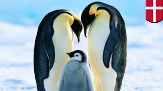 デンマークの動物園でオスペンギンの同性カップルが、育児放棄された子...