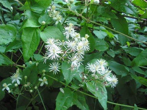Клематис мелкоцветковый. Красив и применим для затенения