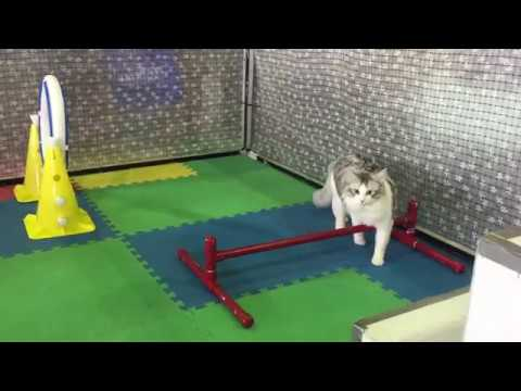 Westminster Meet the Breeds - Cat Agility