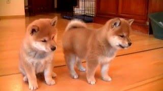 Szczeniaki shiba inu w wieku 6 tygodni / Shiba inu puppies 6 weeks old