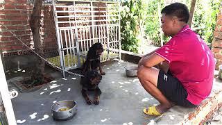 Cách huấn luyện cнo chó Rottẁeiler lệnh