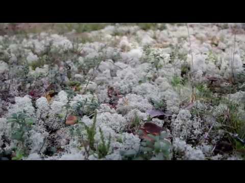 838 Reindeer lichen Cladina cladonia lactarius rufus in the ground