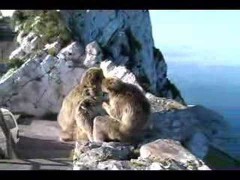 Beware Gibraltar's Monkeys