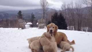 なんだこの巨大毛玉は!ママ犬とじゃれる子犬たちがキュートすぎる(動画)