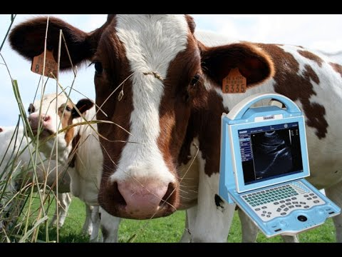 Cow Pregnancy Of 35 Days Seen With Portable Bovine Ultrasound Scanner KX5600