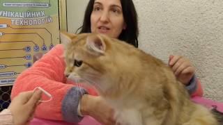 Сибирская кошка: рассказ владелици питомника