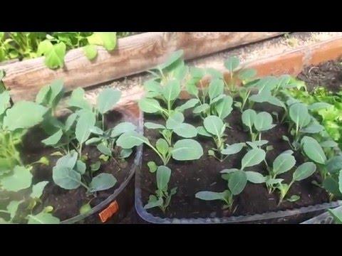 Вопрос: Как выглядит рассада капусты?
