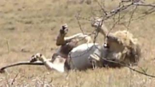 Lions & Tigers having a Seizure Attack!!!