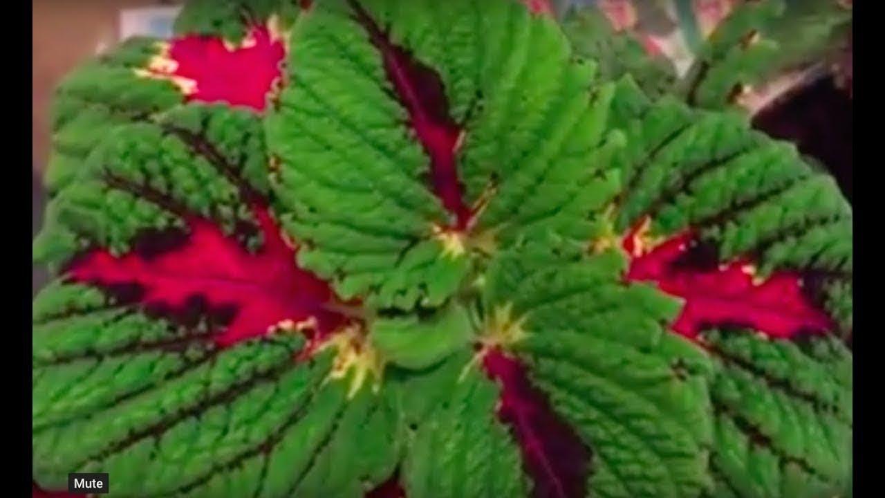 как вырастить посконник из семян