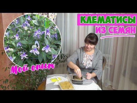 Как вырастить клематис из семян в домашних условиях