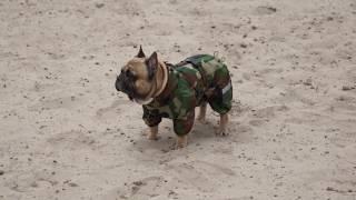 Французский бульдог гуляет в комбинезоне, одежда для собак от Бренда Твой Стильный Охотник