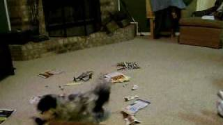 Our Shih Tzu Gertrude (Gertie) throwing a tantrum after getting a b...