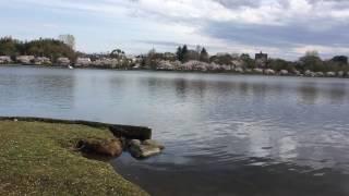 今日は、昨日と打って変わっての晴天、千波湖を散歩する方も多ございま...