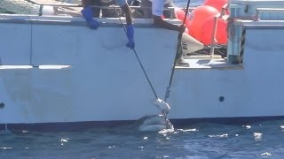 Operation Apex Harmony: Tiger Shark caught on Drum line, Gracetown WA