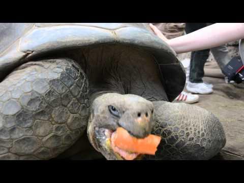 Galapagos tortoise at Newport Aquarium dining on dish of carrots