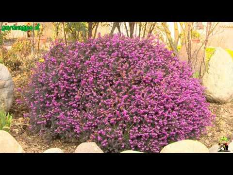 Catambra presentazione della pianta antizanzare doovi for Siepi fiorite perenni