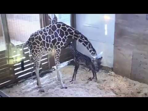 Thumbnail: April's Baby Giraffe Takes First Steps and Falls!