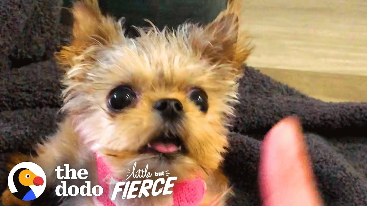 Half-Pound Puppy Wins Over His Big Dog Sister | The Dodo Little But Fierce