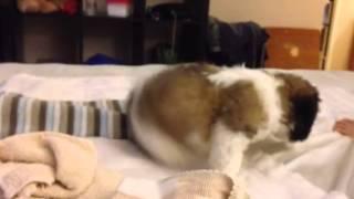 Milo - Maltese Poodle Shih Tzu Mix