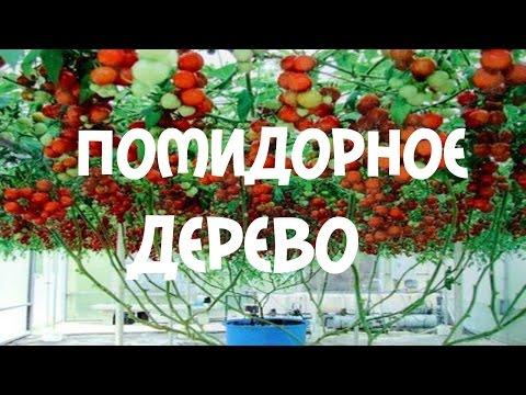 Помидорное дерево. Посадка и выращивание помидорного дерева Часть 2
