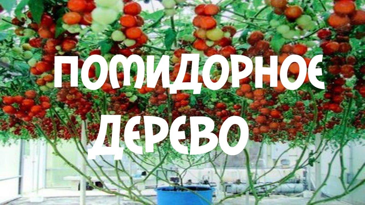 Томатное дерево: выращивание в открытом грунте, в домашних 34