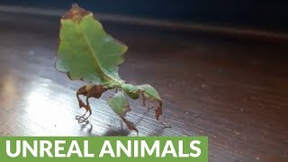 Have you ever seen leaf insects