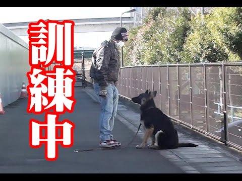シェパード犬 呼び訓練中 Dog training