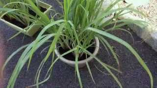 How To Grow Your Own Lemongrass