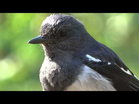 Beautiful Oriental Magpie Robin (Female)  Close-up