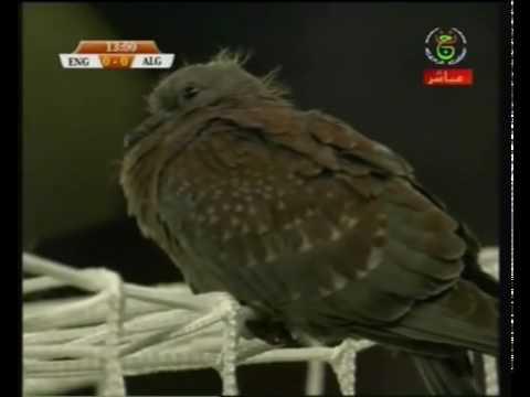 England v Algeria - Bird on Raïs Mbolhi goal post حمامة حراسة مرمى الجزائر