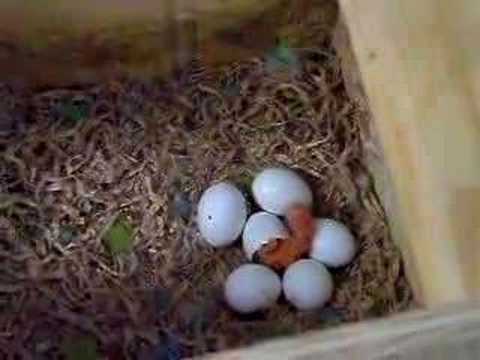 Lovebird Baby Hatching Youtube
