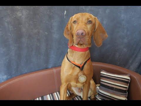 Attila - Hungarian Vizsla - 3.5 Weeks Residential Dog Training