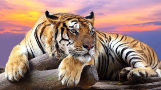 La tigre. Documentario.