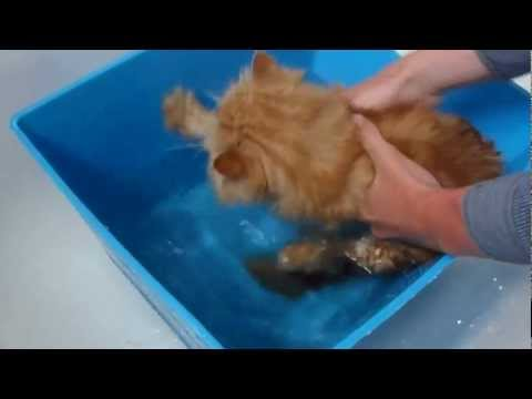 Giving Augustine, our persian kitten, a bath for the first time ever