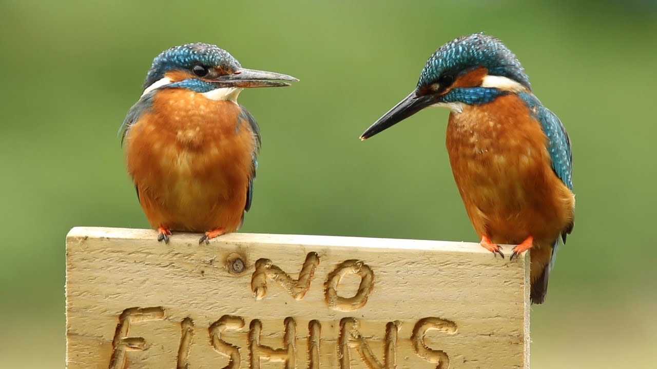 Common Kingfisher Male Female With Fish And Calling Youtube