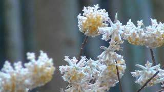 西山にミツマタの花が咲く頃