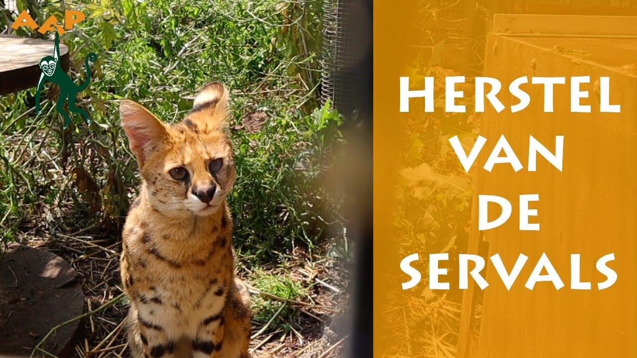 Opgevangen servals aan de beterende hand - Stichting AAP