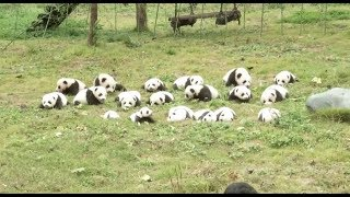 Cute Alert! 36 Panda Cubs Born in 2017 Make Public Appearance