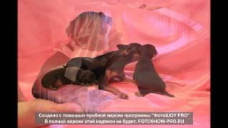 Черный и Коричневый Той терьер / щенки / продажа