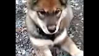 マタギ犬の子犬です。めがねをかけているみたいです。