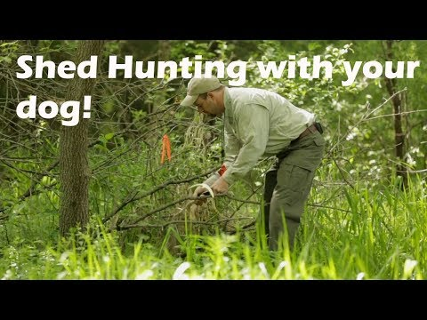 Shed Dog Training In The Field