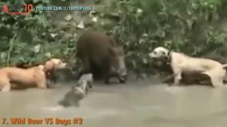 Download The Top 10 Top 10 Warthog Wild Boar Attack Warthog