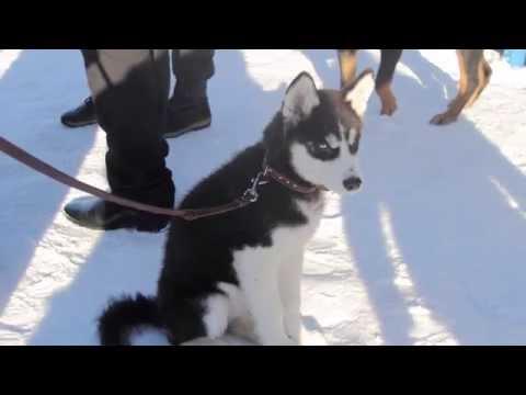 Интересная Камчатка   Снежные псы 1500