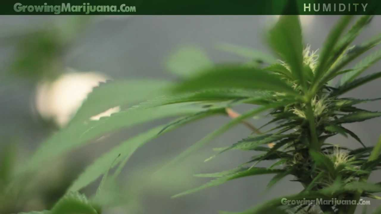 Humidity - Marijuana Growing Humidity Moisture - Growing Weed - 13 - YouTube & Humidity - Marijuana Growing Humidity Moisture - Growing Weed - 13 ...